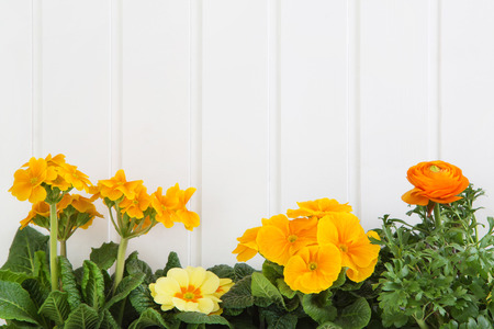 Orange and yellow spring flowers on white wooden background for springtime decoration items.