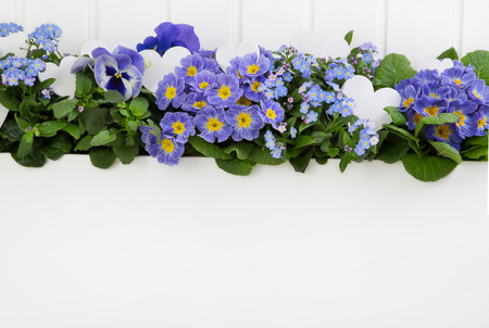 Blue spring flowers with white hearts on wooden white background for decoration.