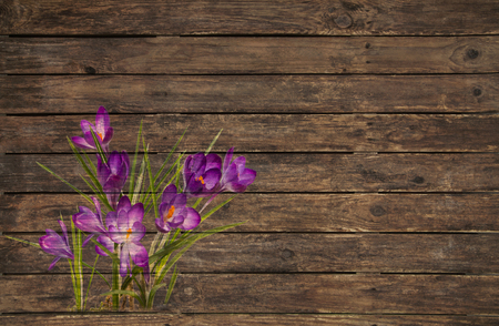 Old wooden background with a violet or purple crocus grunged for decoration.