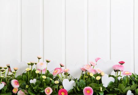 primavera: Margarita flores del tiempo de primavera de color rosa sobre fondo blanco de madera para artículos de decoración.