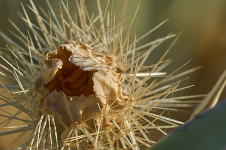 Dead desert cactus close up in Anza Borrego