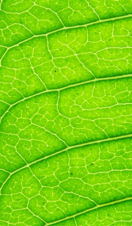 stoma: abstract, agriculture, background, beautiful, biology, botanical, cell, chlorophyll, closeup, color, colorful, colour, detail, flora, fractal, green, green leaf, leaf, life, line, macro, nature, organic, outdoors, pattern, photosynthesis, plant, season, s