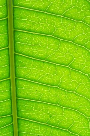 stoma: Green Leaf macro modello
