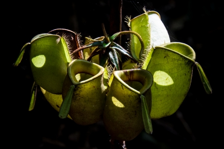 WIld Tropical Pitcher Plant photo