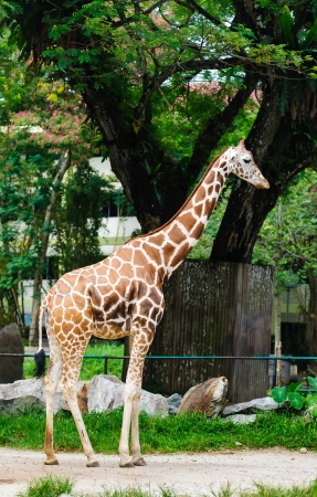 full length herbivore: Giraffa camelopardalis standing tall