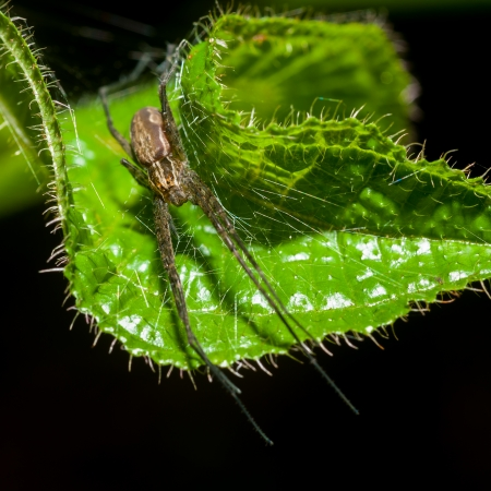 Wolf Spider on green leaf photo