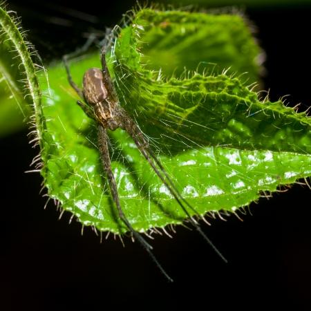 wolf spider: Wolf Spider on green leaf