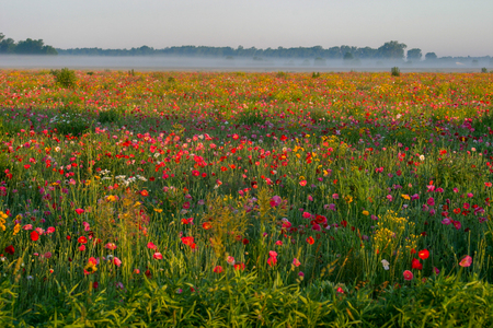 Poppy Field on a gorgeous spring morning in Bad Ax, Michigan Stock Photo