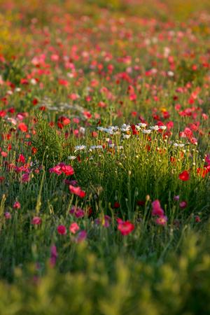 Closeup of a poppy field in Bad Ax, Michigan 写真素材