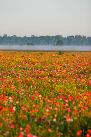 Beautiful fog in the background of a large field of poppies in Bad Ax, Michigan