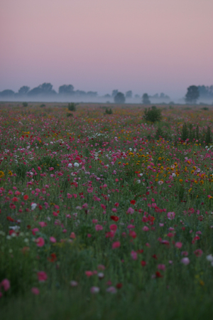 Lovely spring sunrise over a field of poppies in Bad Ax, Michigan