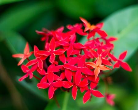 Red flower of rubiaceae family Ixora duffi