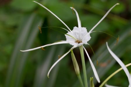 White flower of rubiaceae family