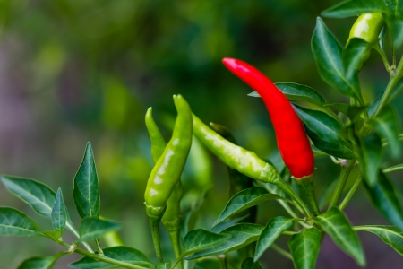 Ripe red chili on stem Stock Photo