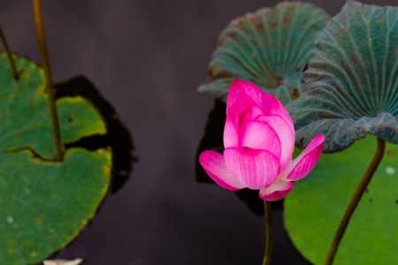 Lotus flower in pond surrounded by lilies
