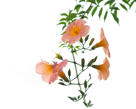 Orange flower with green leaves isolated white