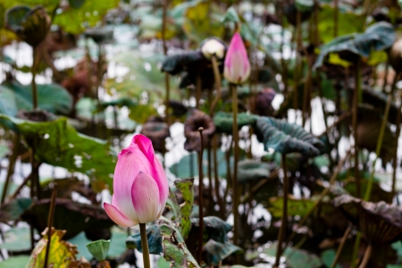 lilia: Lotus flower in pond surrounded by lilies