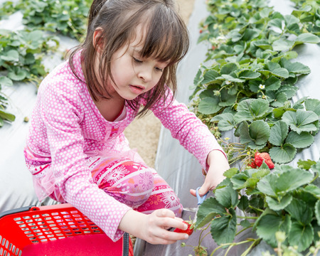 Young girl picking strwberries from patch