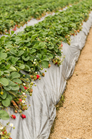 Strawberry Patch full of Strawberries