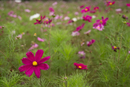 A garden full of pink and purple cosmos flowers, shallow DOF Stock Photo