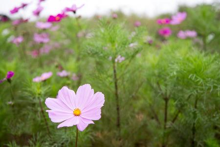 dof: Pink cosmos flower in garden, shallow DOF