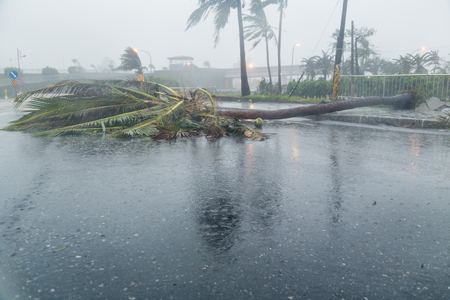 Uprooted tree blocking road during a typhoon