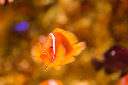 clown fish: Clown fish swimming in seawater