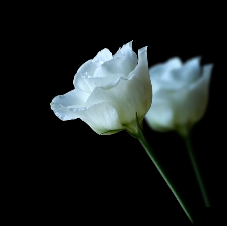 mourn: Pair of white roses