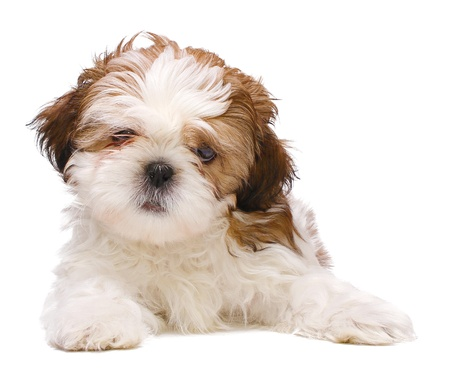Shih-tzu puppy posing isolated on white background Stock Photo