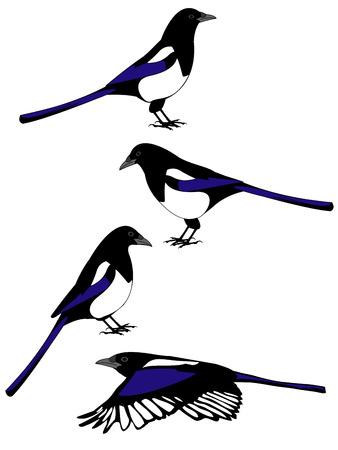 vector illustraties van een ekster vogel in verschillende poses