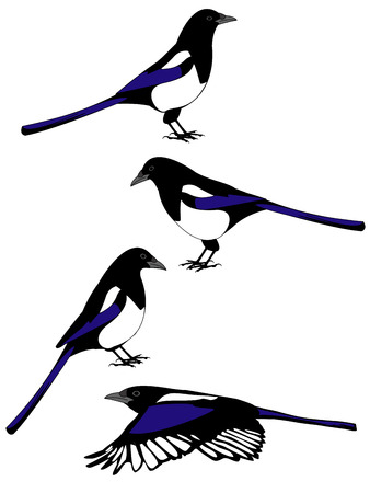 crows: vector illustrations of a magpie bird in various poses Illustration