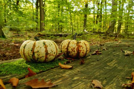 Pumpkin in fall in natural forest environment. Orange pumpkins on wooden planks on forest background, Rotten boards covered with moss and dry leaves. holiday decoration Stock Photo