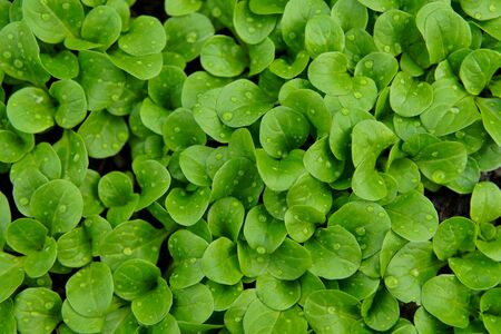 Foliage of corn salad, lambs lettuce leaf in green rainbow texture, abstract pattern nature background