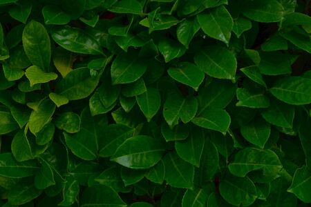 Foliage of tropical leaf in dark green texture with water drops, abstract pattern nature background