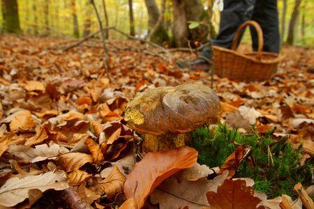 Boletus badius, Imleria badia or bay bolete mushroom closeup. Edible fungus has a brown cap. legs of a man and a basket for fungi on background. Mushrooming season, growing in woods, forests. Stock Photo