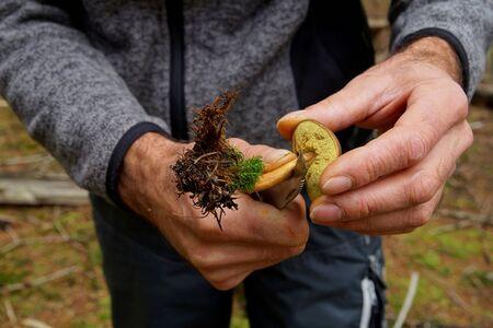 Hands of a man cutting a Boletus badius, Imleria badia or bay bolete mushroom closeup. Edible fungus has velvety dark brown cap. Mushrooming season, growing in woods, forests. Autumn harvest fungi Stock Photo