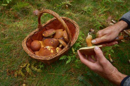 Hands of a man cutting a Boletus badius, Imleria badia or bay bolete mushroom. many Edible fungi, brown cap on basket on background. Mushrooming season, growing in woods, forests. Autumn harvest fungi Stock Photo