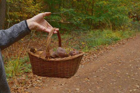 Boletus badius, Imleria badia or bay bolete mushroom growing in woods or forests. Mans hand holding a basket of mushrooms along a path. many Edible fungi. Mushrooming season, Autumn harvest fungi