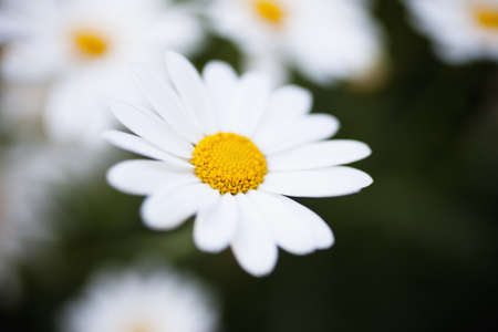 uncomplicated: marguerites close up