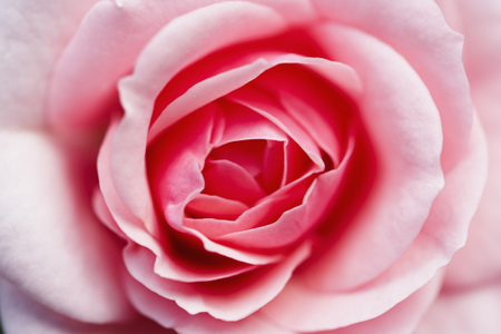 Rose bloom close-up Stock Photo
