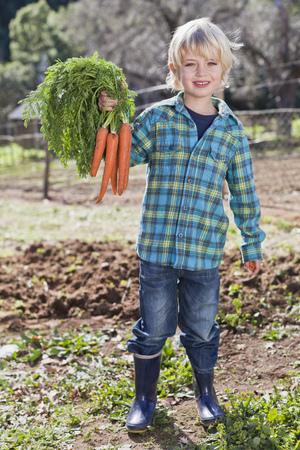 Boy picking bunch of carrots in garden