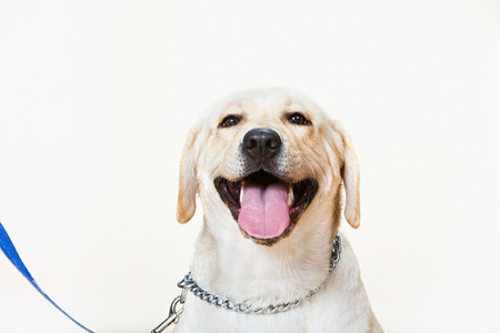 Labrador on a lead Stock Photo