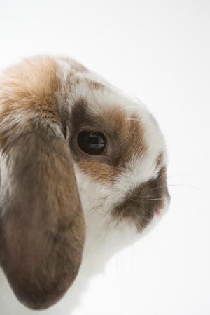 Lop-eared rabbit Reklamní fotografie