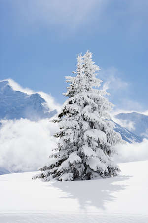 Fir tree covered in fresh snow