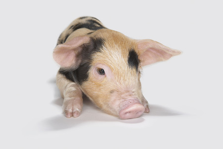 trusted: Detail of piglet Stock Photo