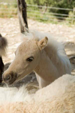 Young miniature horse