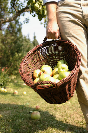 Man carrying basket of apples at harvest 免版税图像