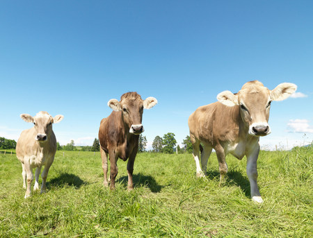 Cows in field Banque d'images - 114107967