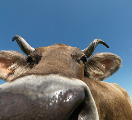 Cow in field, close-up Banque d'images - 114108496