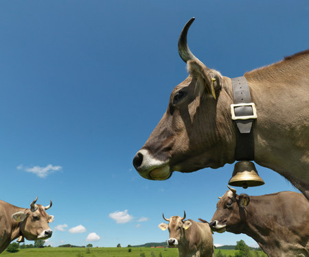 Cows in field Banque d'images - 114046995